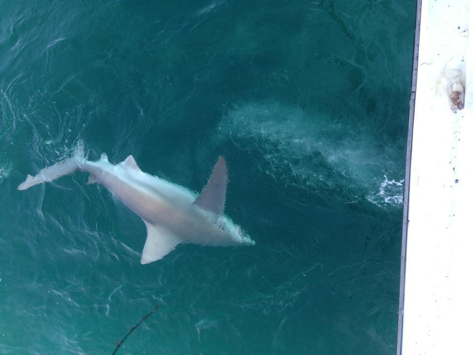 big shark fishing florida white grey